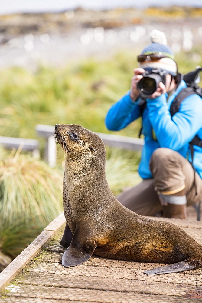 A female Antarctic Fur Seal (Arctocephalus gazella) on Prion Island, South Georgia, Southern Ocean, and a wildlife photographer.