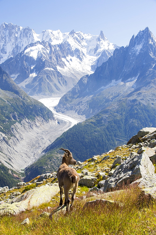 Ibex, Capra ibex on the Aiguille rouge above Chamonix, France, in front of the rapidly retreating Mer De Glace.