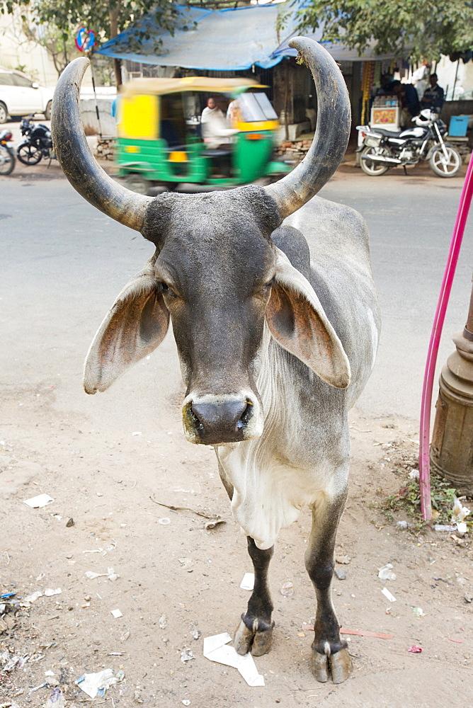 Brahman cow in Ahmedabad, India.