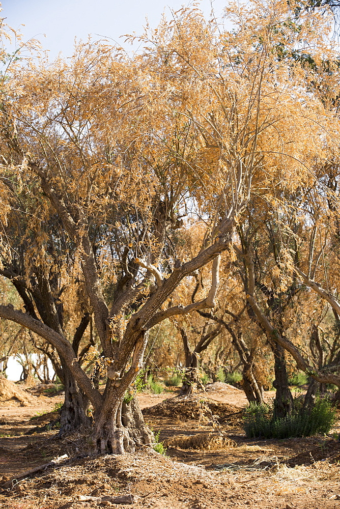Dying Olive trees that no longer have water to irrigate them near Bakersfield, California, USA.  Following an unprecedented four year long drought, Bakersfield is now the driest city in the USA. Most of California is in exceptional drought, the highest level of drought classification. 428,000 acres of agricultural land have been taken out of production due to lack of water, thousands of agricultural workers have lost their jobs and one third of all children in California go to bed hungry.