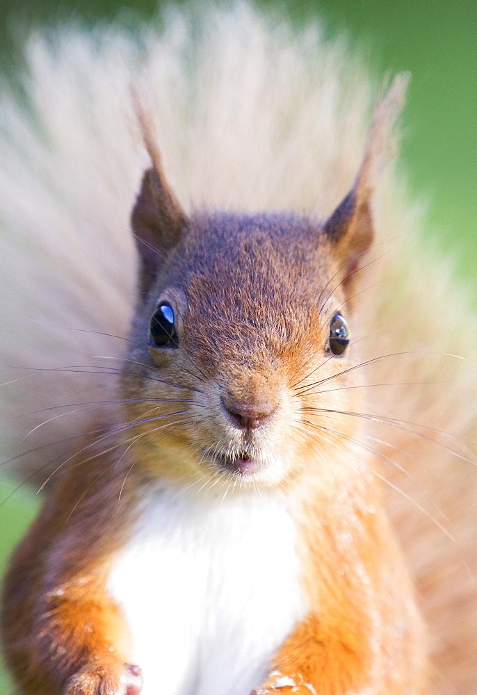 Red Squirrel feeding at Haweswater, Lake District, UK.