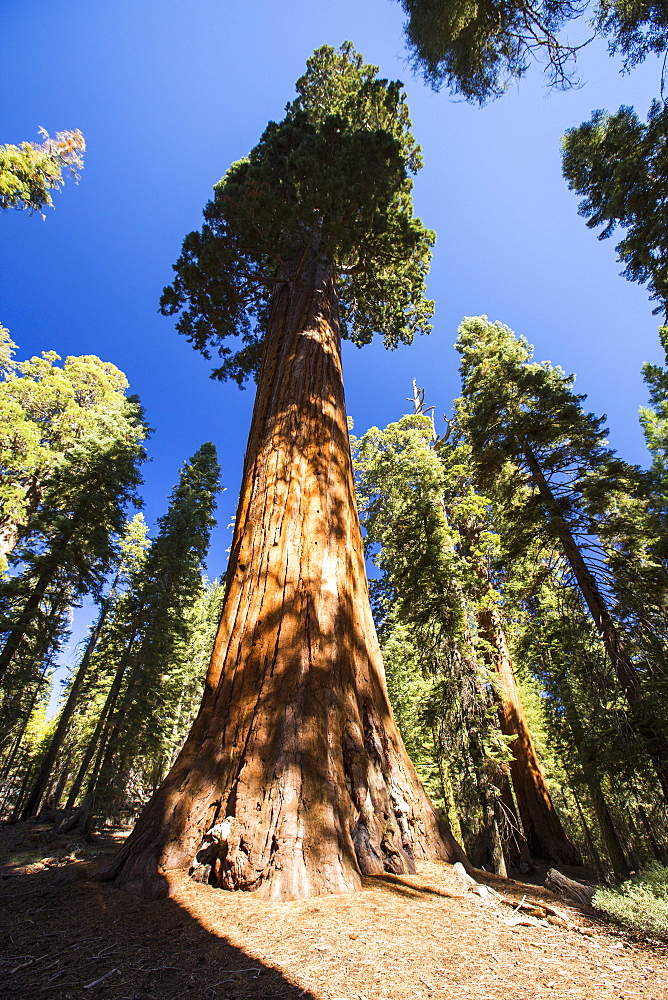 Giant Redwood, or Sequoia, Sequoiadendron giganteum, in Sequoia National Park, California, USA.