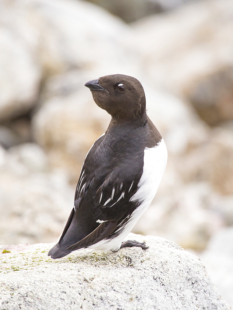 A Little Auk or Dovekie (Alle alle) at a nesting colony at Sallyhamna (79¬851'Äôn 11¬823'Äôe) on the north coast of Spitsbergen, Svalbard. These small Auks are specialist Arctic birds and only nest in the far north.
