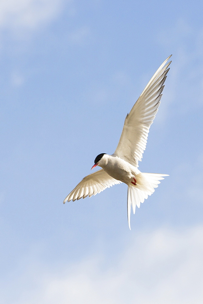 An Arctic Tern (Sterna paradisaea) in Longyearbyen, Svalbard driving off an intruder near its nest.