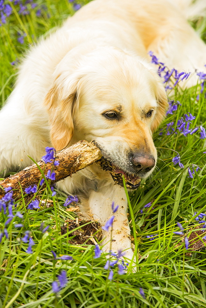 A Golden Retriever dog gnawing a stick in Bluebells in Jiffy Knotts wood near Ambleside, Lake District, UK.