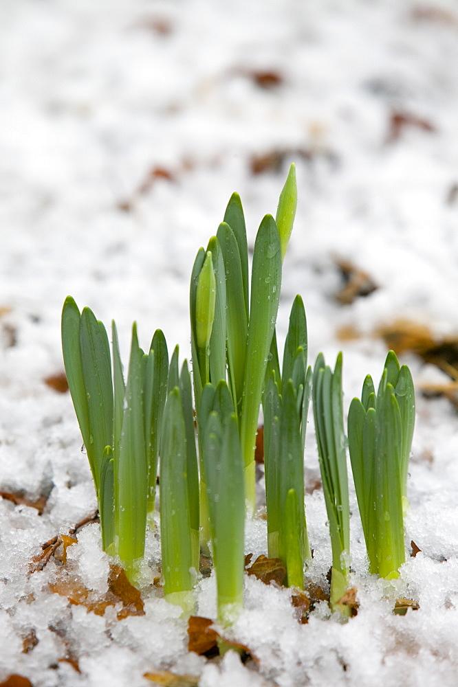 Daffodils pushing up through melting snow in Ambleside, Cumbria, England, United Kingdom, Europe
