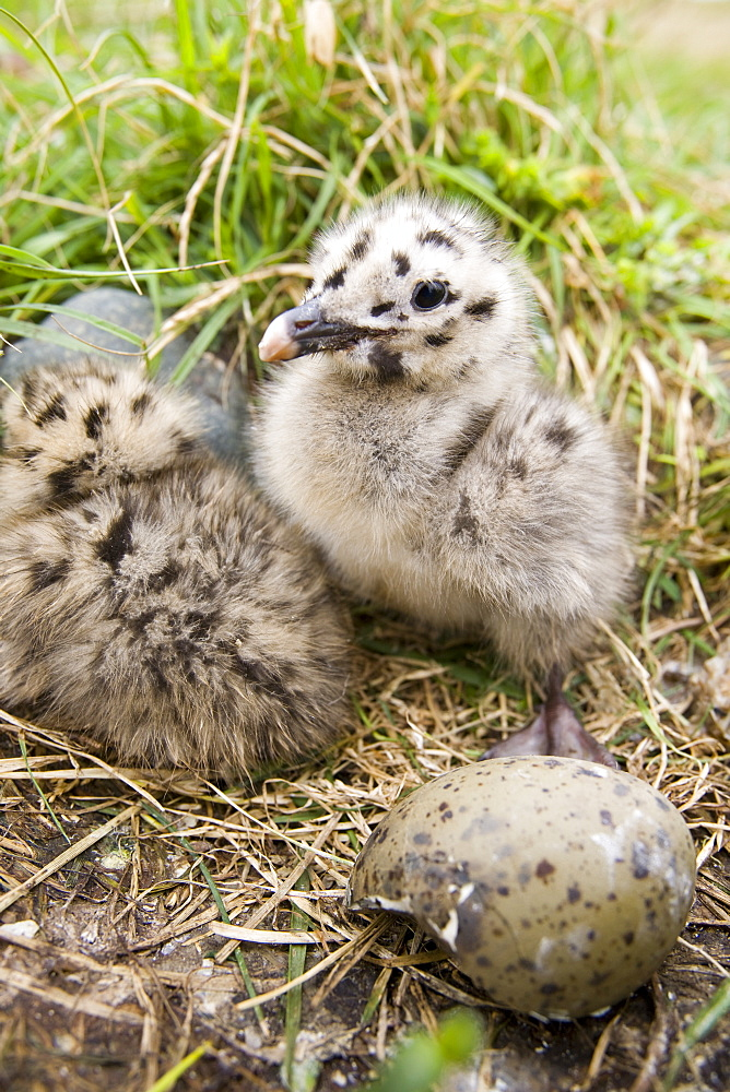 A lesser black backed gull chick nesting on Walney Island near Barrow in Funress, Cumbria, England, United Kingdom, Europe