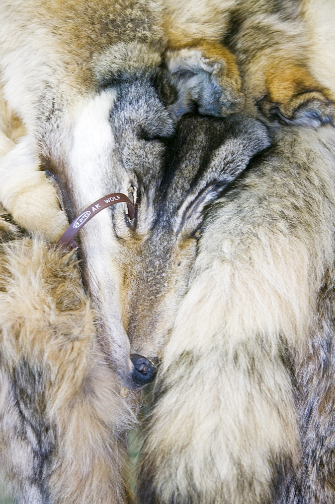 A wolf pelt in the tannery in Shishmaref, a tiny island between Alaska and Siberia in the Chukchi sea, United States of America, North America