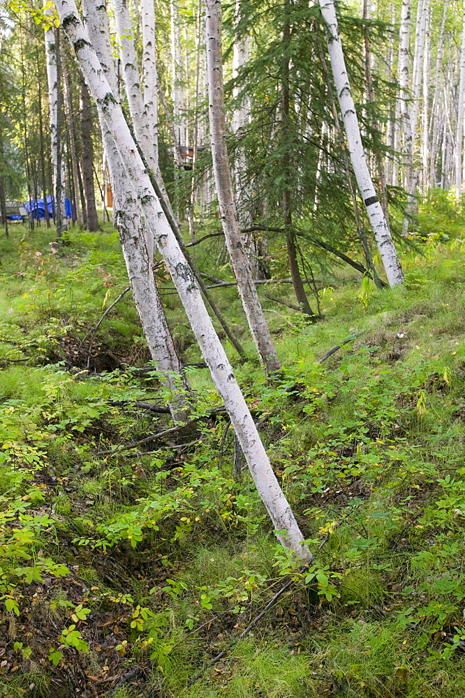 Drunken Forest where trees collapse due to global warming-induced permafrost melt, Fairbanks, Alaska, United States of America, North America