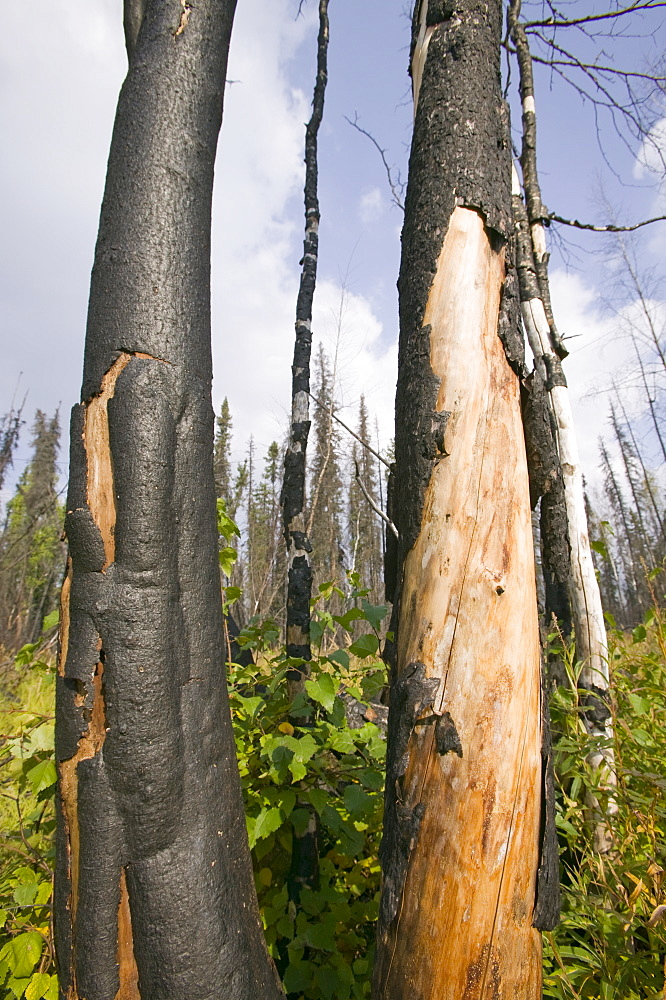 Burnt out forest after unprecedented fires in 2004, near Fairbanks, Alaska, United States of America, North America