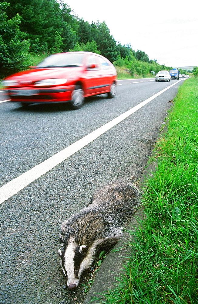 A badger killed on the road near Keswick, Cumbria, England, United Kingdom, Europe