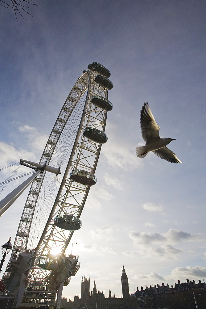 The London Eye on the Thames South Bank UK with a black headed gull flying past, London, England, United Kingdom, Europe