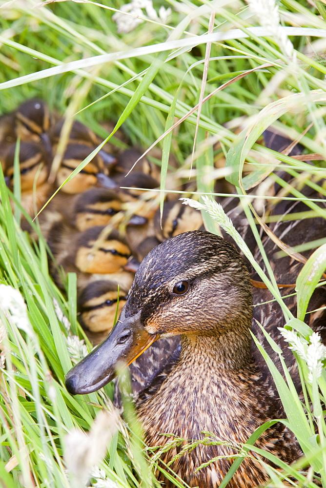A female Mallard with her newly hatched chicks on Walney Island, Cumbria, England, United Kingdom, Europe