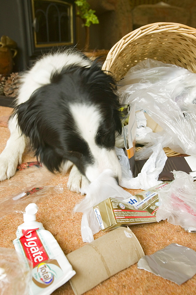 A dog eating the contents of a household bin, United Kingdom, Europe