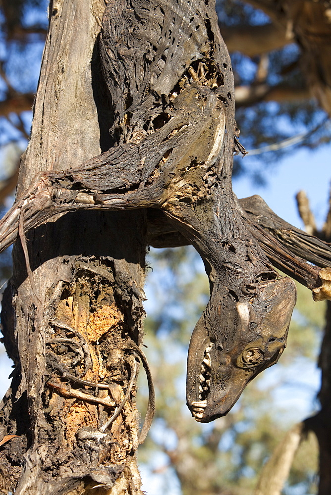 Feral dog responsible for attacks on sheep, shot by farmer and hung up on a road-side tree near Lake Eucumbene, New South Wales, Australia, Pacific