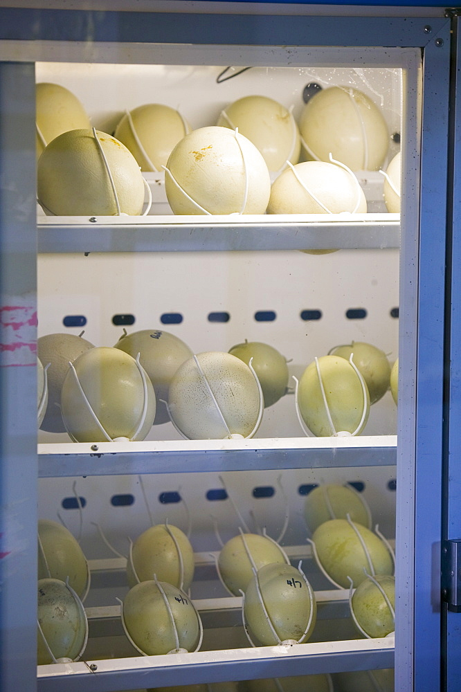 Ostrich eggs in an incubator, Cumbria, England, United Kingdom, Europe