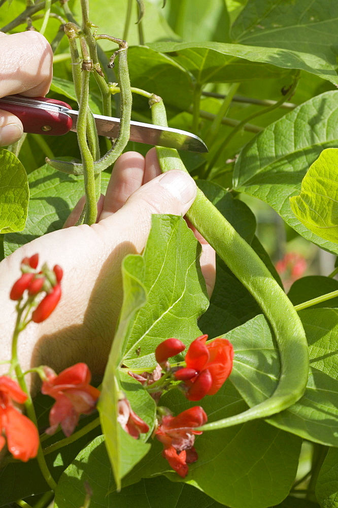 Organic runner beans on an allotment in Cumbria, England, United Kingdom, Europe