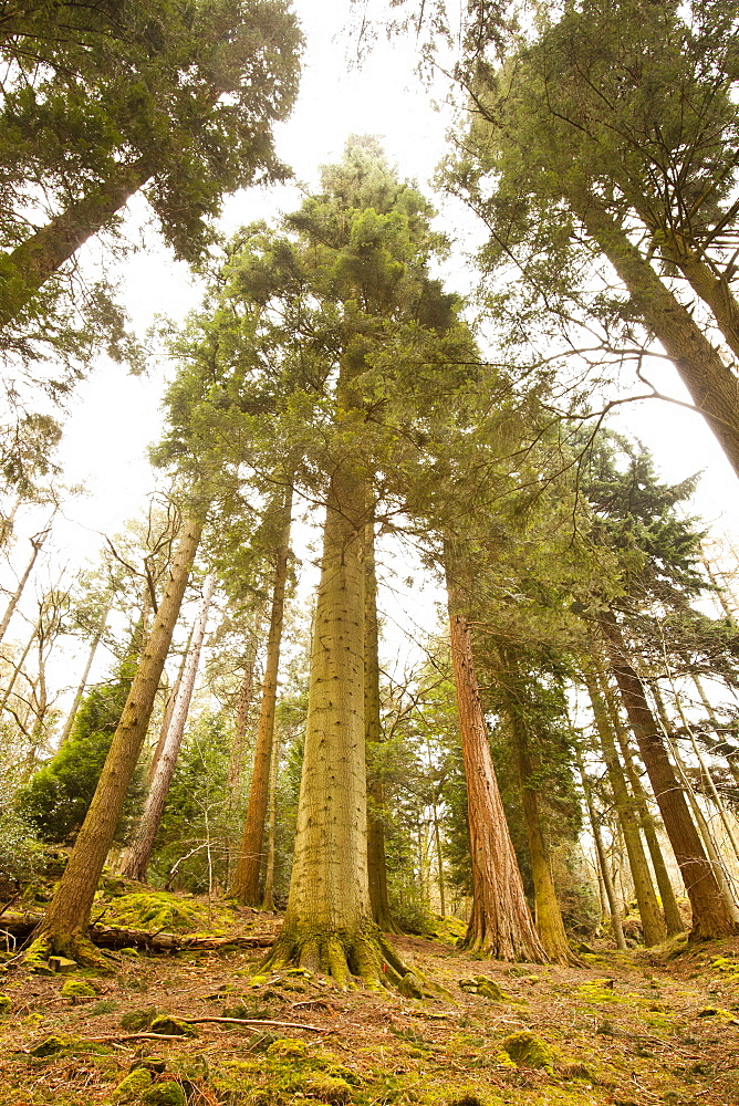 England's tallest tree, a Grand Fir (Abies grandis), champion of the Tree Register, 57.8 metres (190 feet) tall, planted aound 1860 in an arboretum at the Wansfell Holme Country Estate (Skelghyll Woods), Ambleside, Lake District, Cumbria, England, United Kingdom, Europe