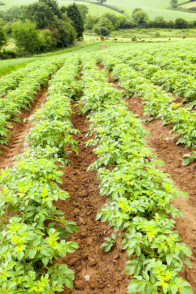 Potatoes growing at Washingpool farm, Bridport, Dorset England, United Kingdom, Europe