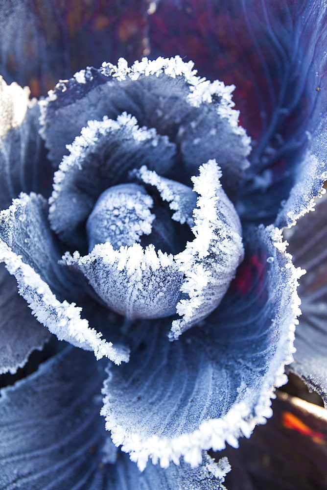Frost on red cabbage being grown on the Lancashire Fylde coast near Southport, Lancashire, England, United Kingdom, Europe