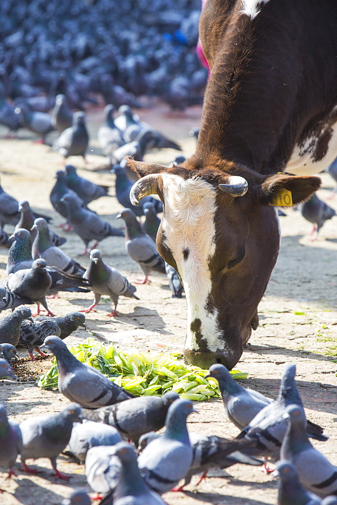 A cow and feral pigeons in Durbar Square, Kathmandu, Nepal, Asia