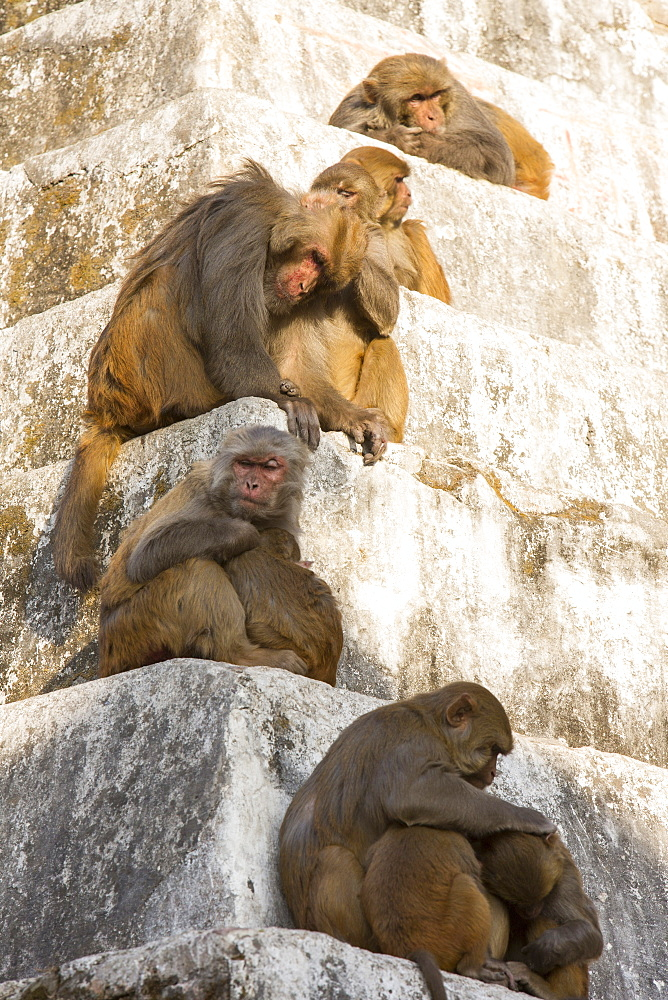 Monkeys at Pashupatinath Temple, a Hindu temple of Lord Shiva located on the banks of the Bagmati River Kathmandu, Nepal, Asia