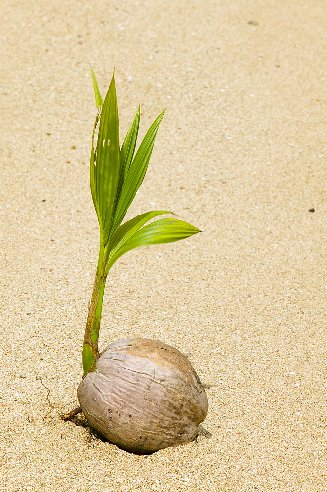 A coconut sprouting on a Fijian beach, Fiji, Pacific