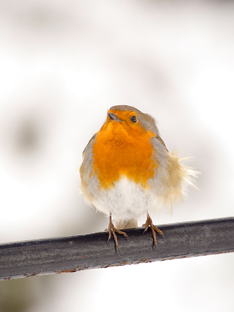 European robin (Erithacus rubecula) in the grounds of Rydal Hall, Ambleside, Lake District, Cumbria, England, United Kingdom, Europe