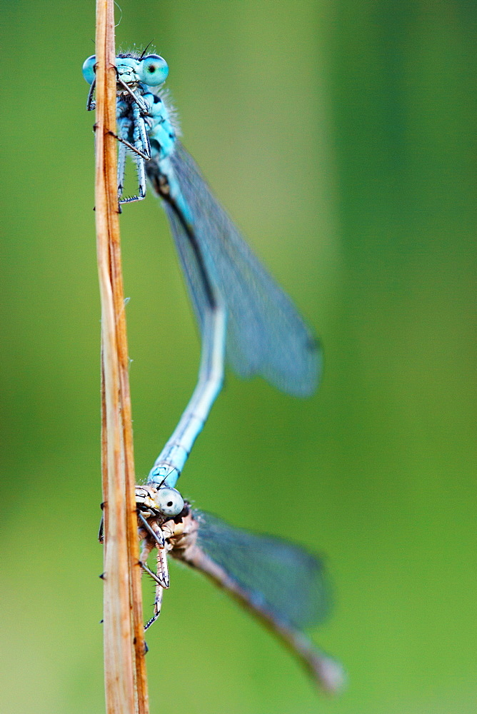 Two portraits dragonfly. Nature, Moldova, insect, summer, Green,  macro, Dragonfly, portrait