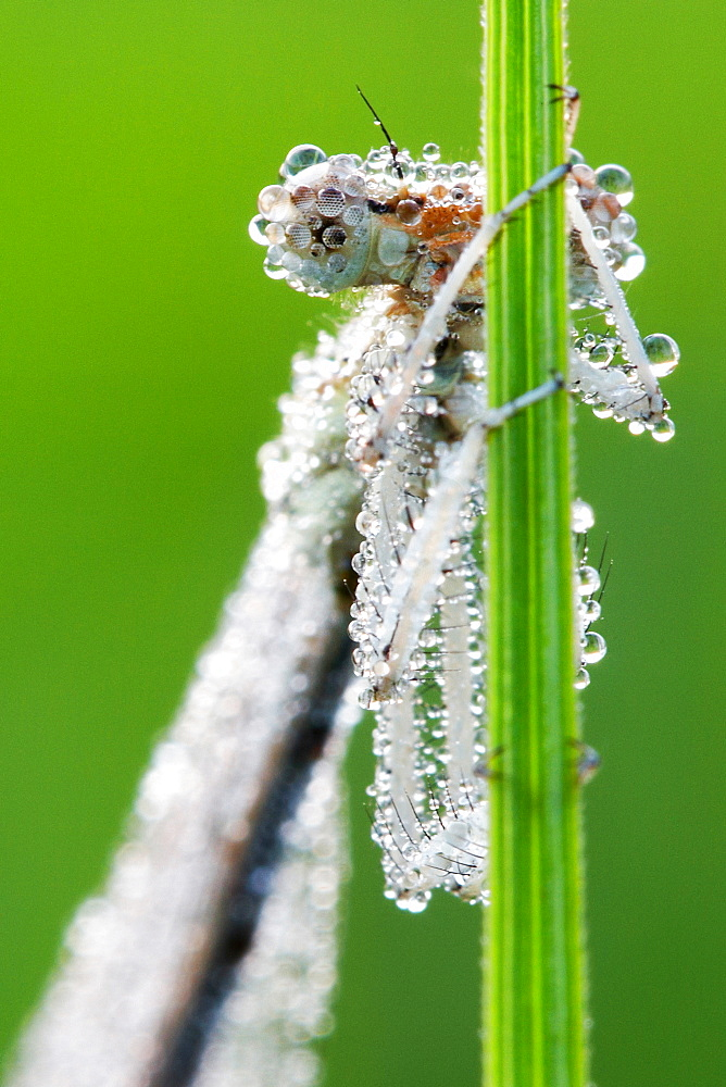 A lover of diamonds. Nature, Moldova, insect, summer, Green,  macro, Dragonfly, diamonds