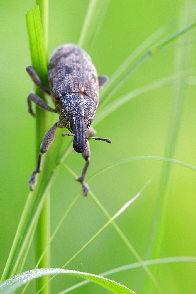 Weevil. Nature, Moldova, insect, summer, Green,  macro, Weevil, Grass - 912-20