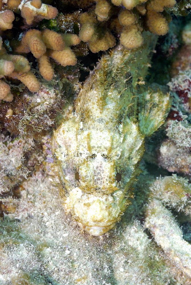Scorpionfish, Mahe, Seychelles, Indian Ocean