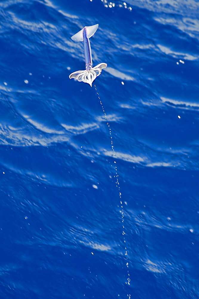 Flying Squid Species in mid-air leaving a water trail behind it, roughly 100 nm North of Tristan Da Cunha, South Atlantic Ocean. Flying Squid use membranes between their tentacles (visible on pic) & two fins at the rear of the mantle to glide through the air in a similar way to flying fish.