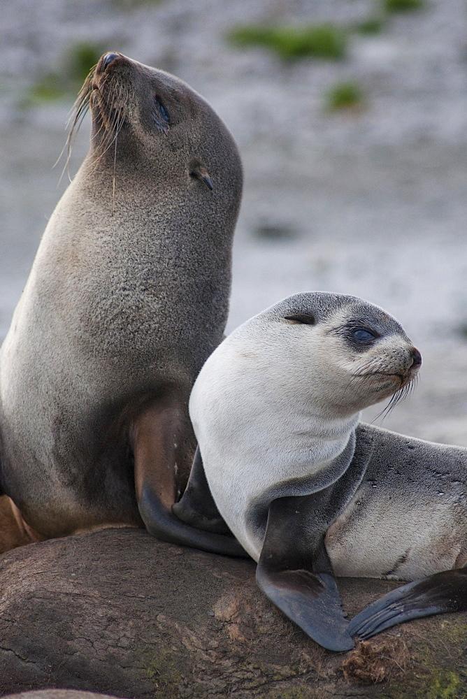 Antarctic Fur Seal mother and pup, Arctocephalus gazella, South Georgia, South Atlantic Ocean.