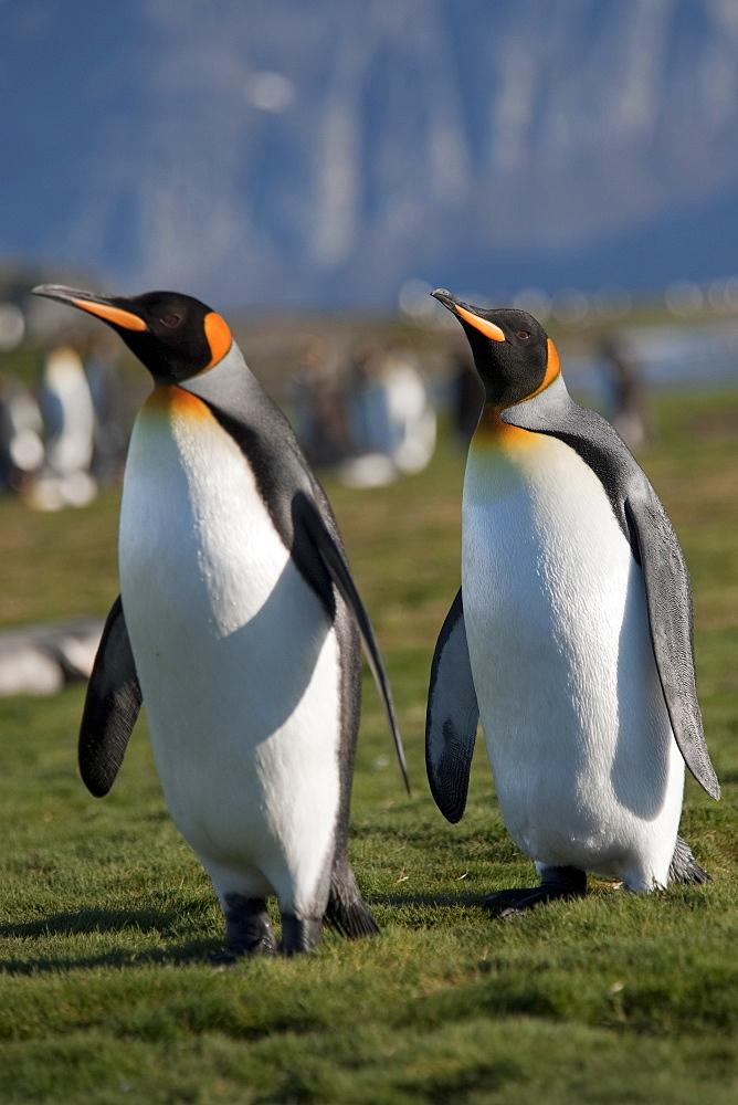 King Penguin, Aptenodytes patagonicus, courting behaviour, South Georgia, South Atlantic Ocean.