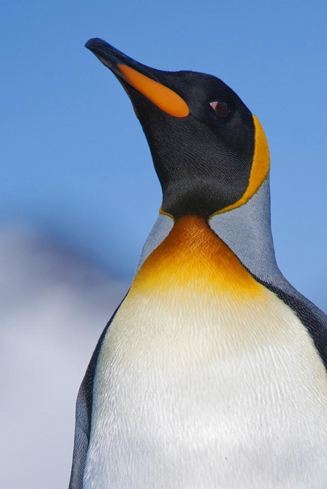 King Penguin, Aptenodytes patagonicus, Salisbury Plain, South Georgia, South Atlantic Ocean.