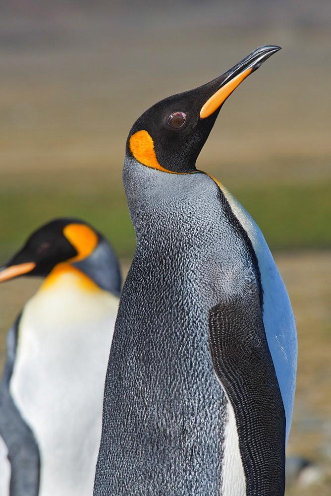 King Penguin, Aptenodytes patagonicus, displaying to attract a mate, Salisbury Plain, South Georgia, South Atlantic Ocean.