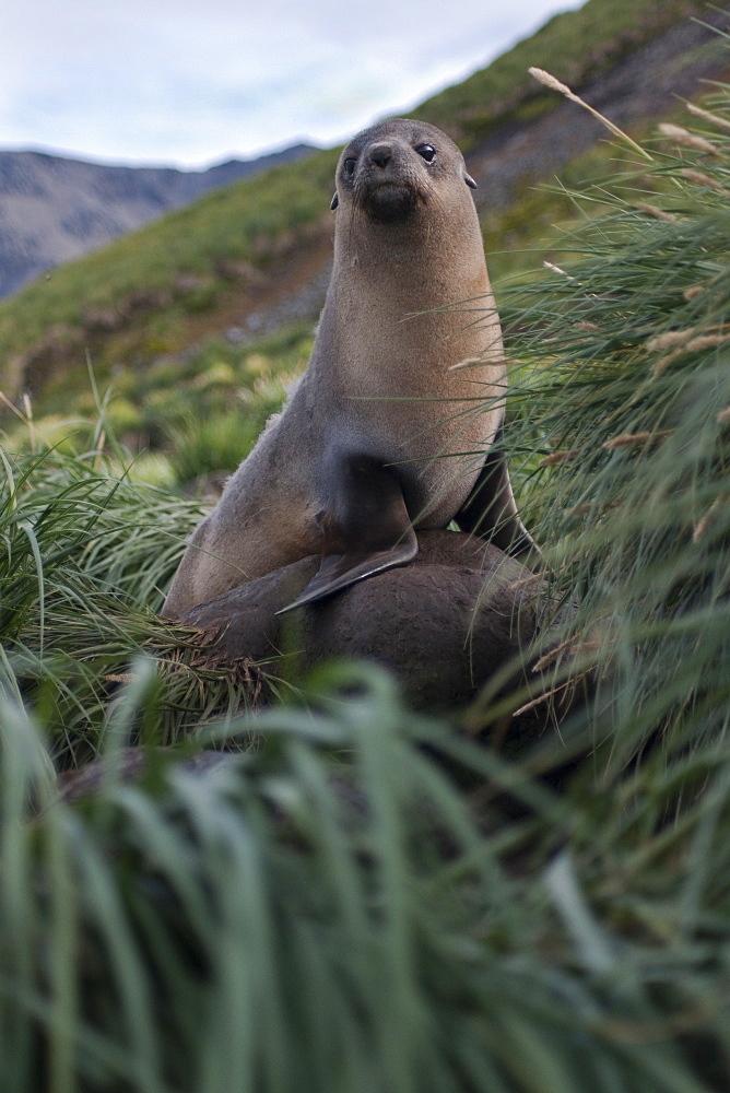 Antarctic Fur Seal (Arctocephalus gazella) adult Female amongst Tussac Grass. South Georgia, South Atlantic Ocean.