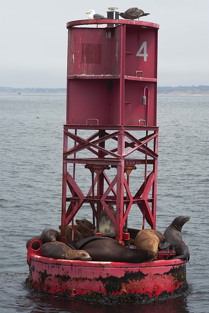 California sealions (Zalophus californianus), on buoy, Monterey, California, United States of America, North America
