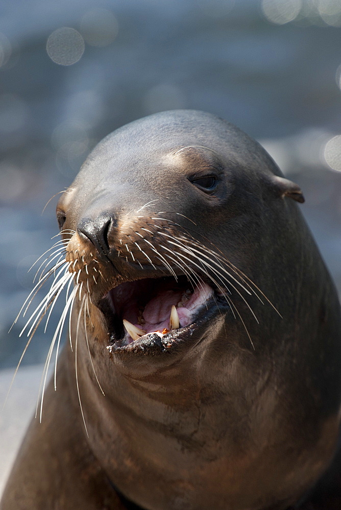 California sealion (Zalophus californianus) adult female, Monterey, California, United States of America, North America