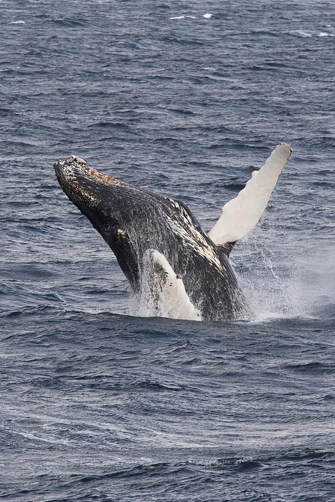 Humpback whale (Megaptera novaeangliae) breaching, Antarctic Peninsula, Antarctica, Polar Regions - 917-514