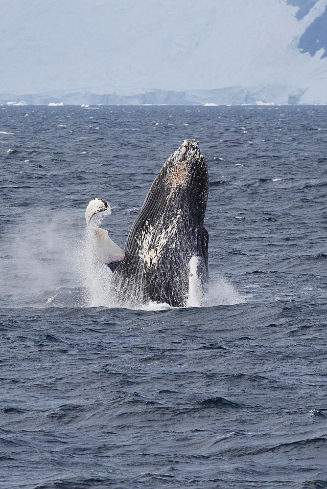 Humpback whale (Megaptera novaeangliae) breaching, Antarctic Peninsula, Antarctica, Polar Regions - 917-516