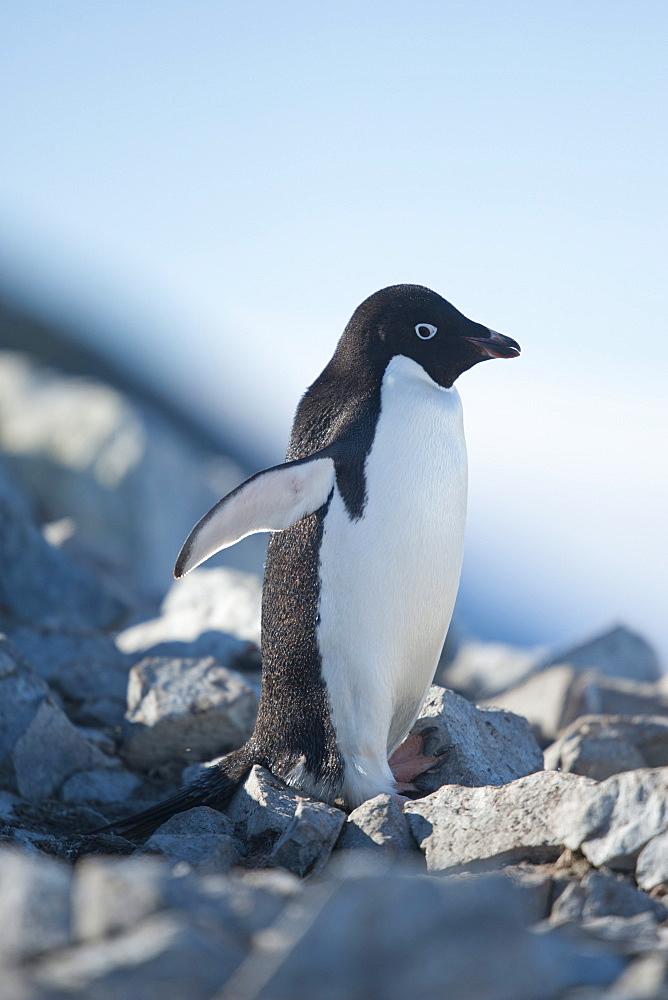 Adelie penguin (Pygoscelis adeliae), Petermann Island, Antarctic Peninsula, Antarctica, Polar Regions  - 917-549
