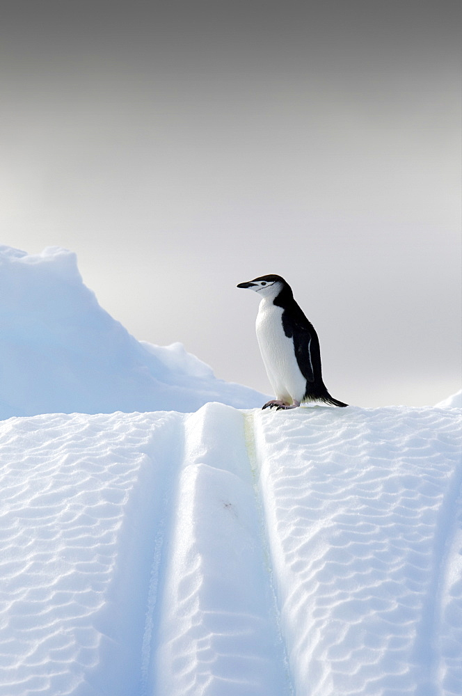 Chinstrap penguin (Pygoscelis antarcticus) on an iceberg near Deception Island, South Shetland Islands, Antarctica, Polar Regions