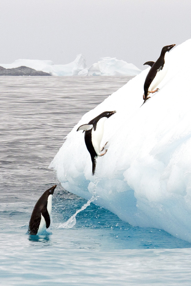 Adelie penguins (Pygoscelis adeliae) group jumping on iceberg, Antarctic Peninsula, Antarctica, Polar Regions  - 917-554