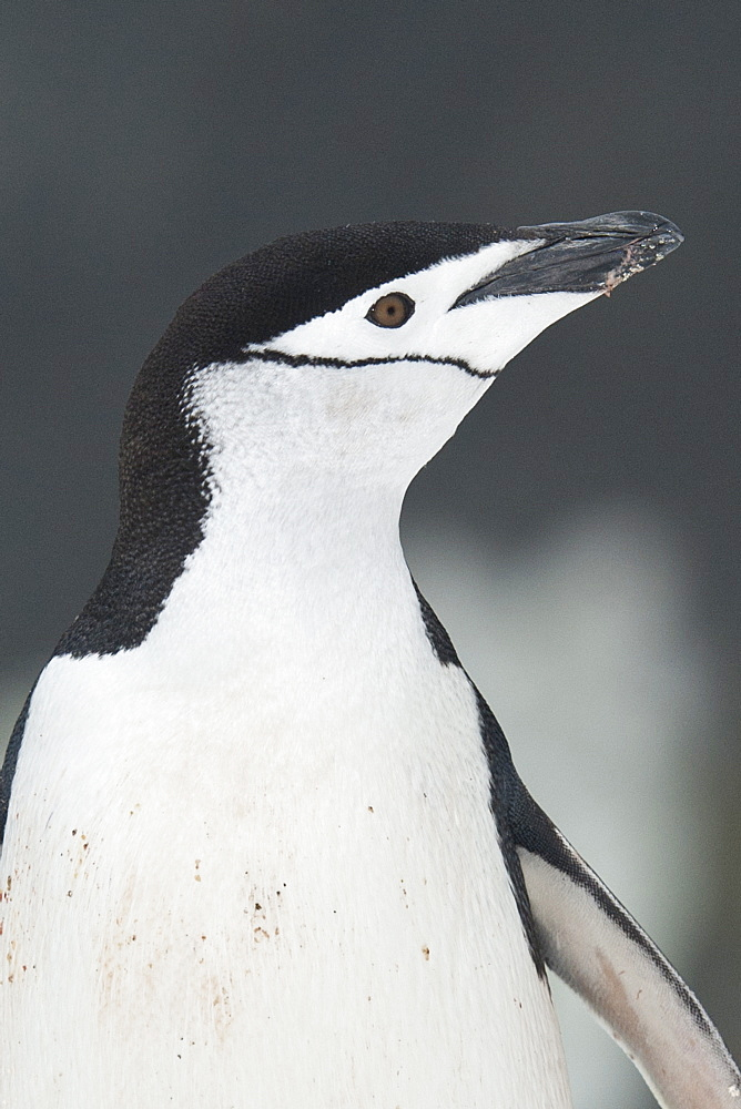Chinstrap Penguin portrait, Pygoscelis antarcticus, Half Moon Island, South Shetland Islands - 917-591
