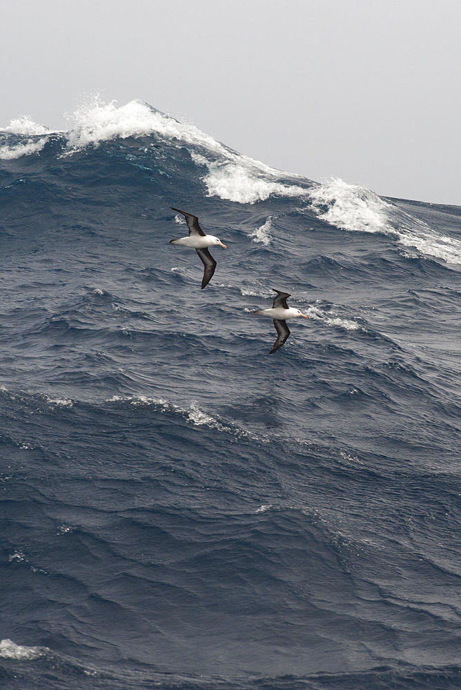A pair of Black browed Albatross, Thalassarche melanophrys, gliding over large waves, Drake Passage, Southern Ocean - 917-600