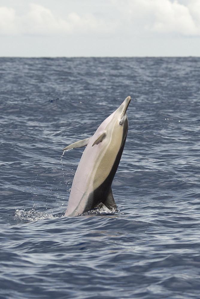 Short-beaked Common Dolphin, Delphinus delphis, back-flip, Azores, Atlantic Ocean - 917-614