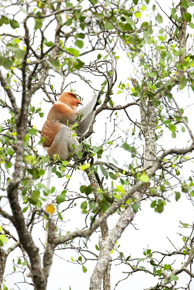 Proboscis monkey (Nasalis larvatus). wild adult male. Balikpapan Bay, East Kalimantan, Borneo, Indonesia, Southeast Asia, Asia - 918-14