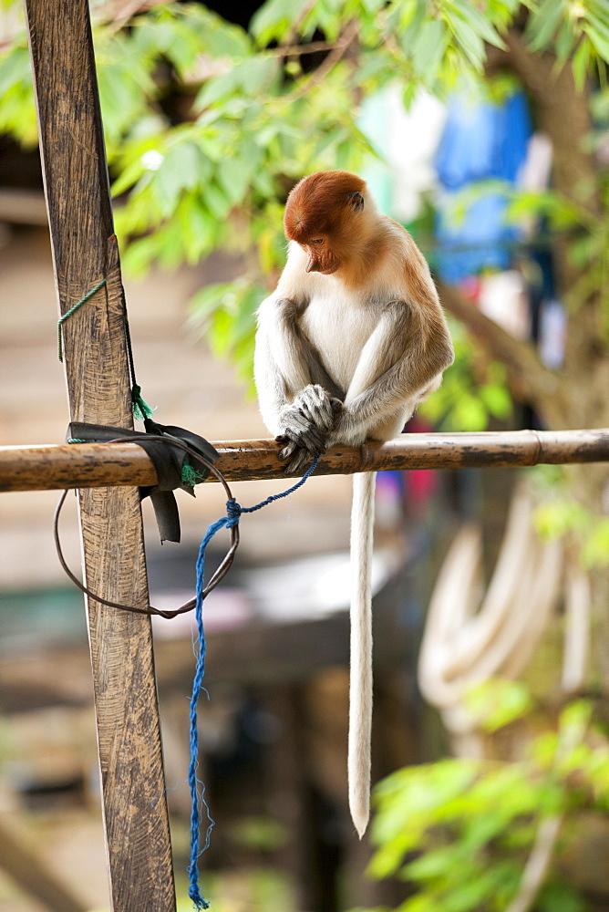 Proboscis monkey (Nasalis larvatus). young female kept captive as pet, East Kutai Regency, East Kalimantan, Borneo, Indonesia, Southast Asia, Asia - 918-3
